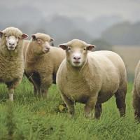 АНГЛИЯ (и Шотландия) с EquiLife.ru  22-28 февраля-1 марта 2020 года. - фото p30_sheep_outside_outdoor_grazing_lambs_dorset_ewes_Main-200x200, , конный журнал EquiLIfe