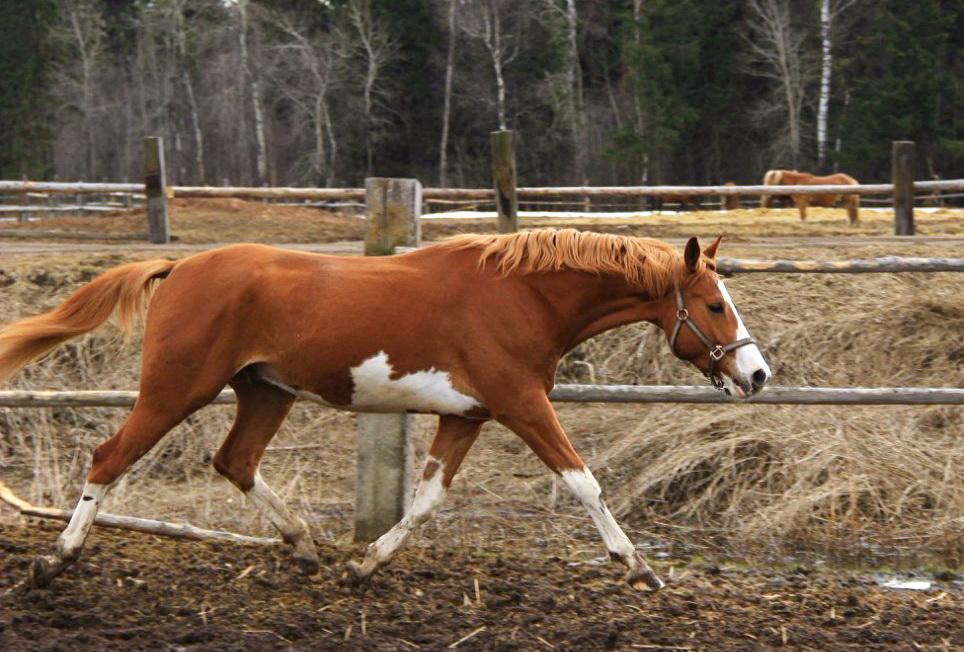"""Когда """"вперед и вниз"""" ВРЕДНО для лошади - фото , главная Тренинг , конный журнал EquiLIfe"""