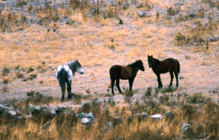 Мустанги Америки - фото 22.-Мустанги-Америки, главная Конные истории Поведение лошади , конный журнал EquiLIfe