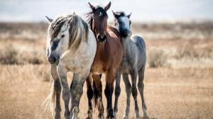 Фото: northamericantraveller.com - фото American-Mustangs-09-300x168, , конный журнал EquiLIfe