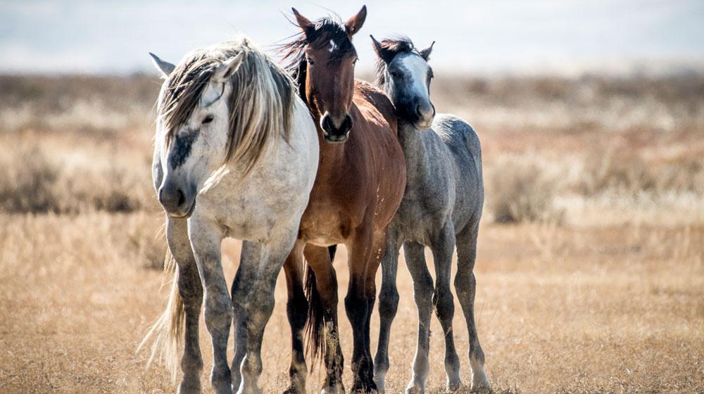 Мустанги Америки - фото American-Mustangs-09, главная Конные истории Поведение лошади , конный журнал EquiLIfe