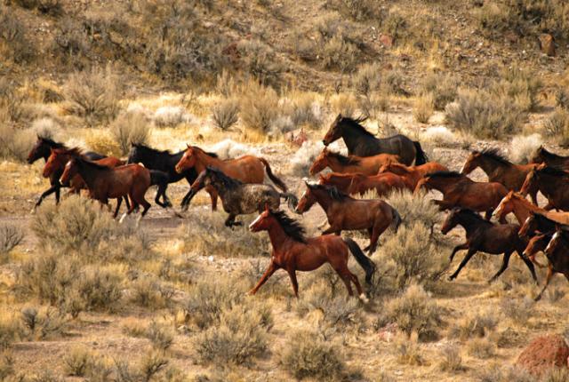 Мустанги Америки - фото nevada-wild-horse-3, главная Конные истории Поведение лошади , конный журнал EquiLIfe