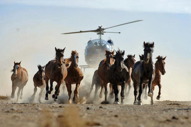 Мустанги Америки - фото wild_horse_helicopter_stampede_catoor, главная Конные истории Поведение лошади , конный журнал EquiLIfe