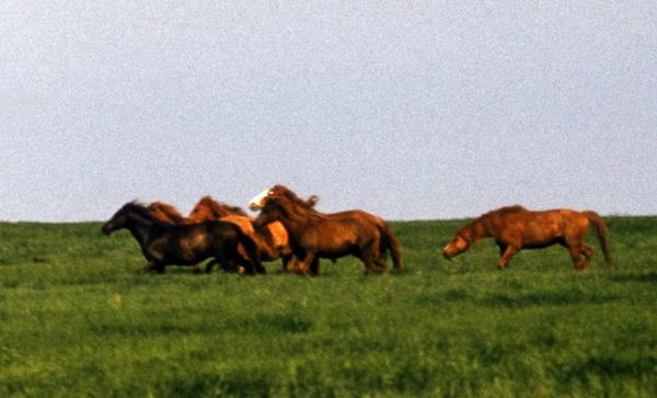 Популяция одичавших лошадей - фото 4, главная Конные истории Поведение лошади Содержание лошади , конный журнал EquiLIfe