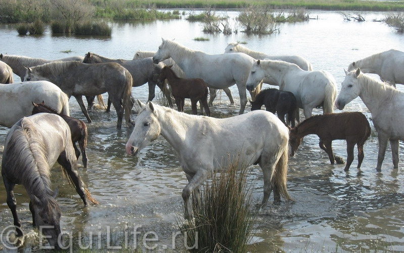 ФРАНЦИЯ, Прованс, Камарг - фото 12_wm1, , конный журнал EquiLIfe