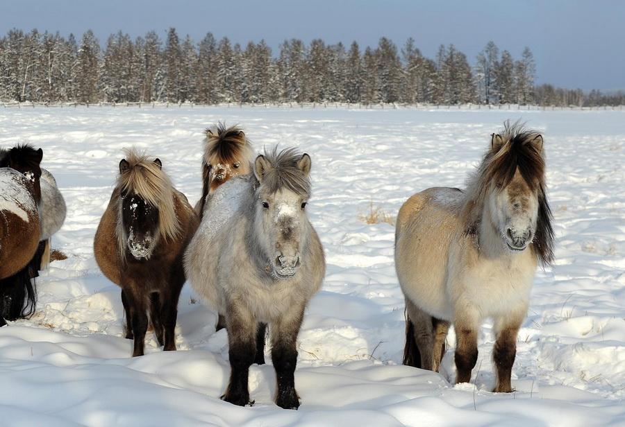 Дикие лошади - это не только мустанги... - фото 2-5, главная Книги о лошадях Конные истории Поведение лошади , конный журнал EquiLIfe