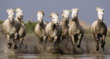 Лошади камарг
