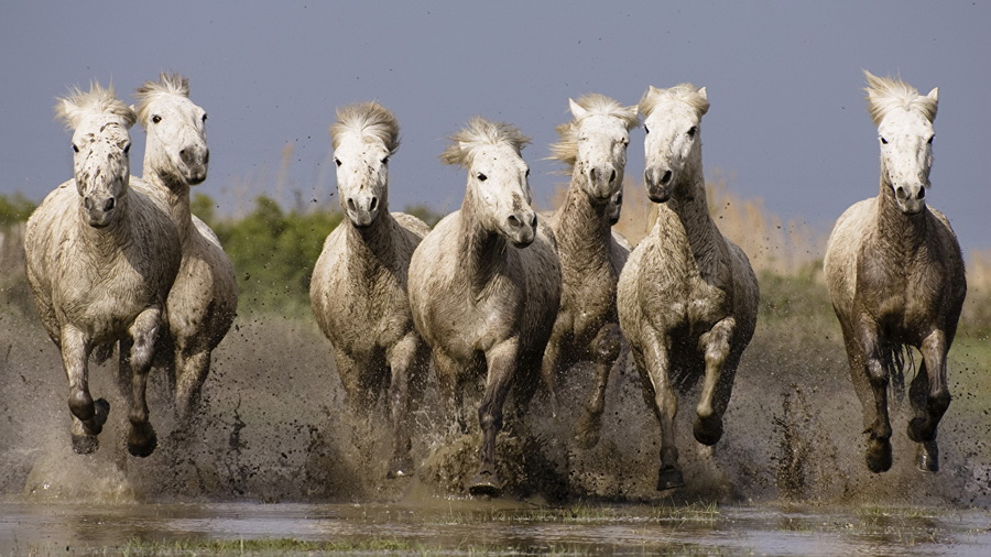 Дикие лошади - это не только мустанги... - фото 271146-alexfas01, главная Книги о лошадях Конные истории Поведение лошади , конный журнал EquiLIfe
