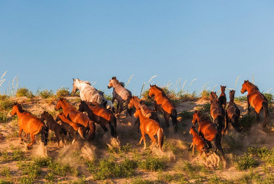 Дикие лошади - это не только мустанги... - фото fs1421500-5, главная Книги о лошадях Конные истории Поведение лошади , конный журнал EquiLIfe