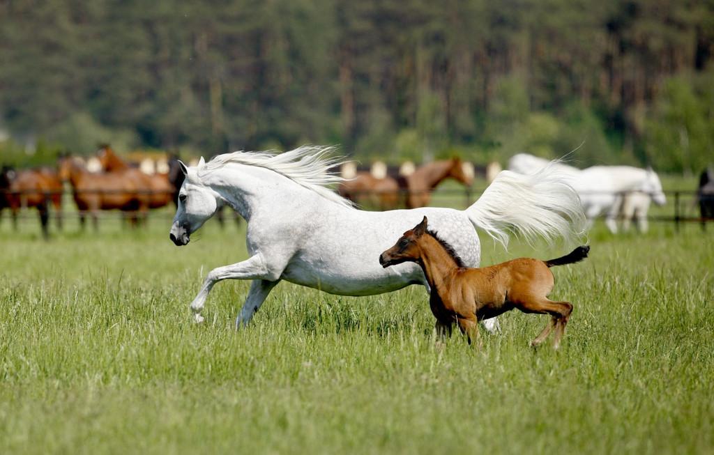 Спаривание лошадей. Зачатие и рождение жеребенка - фото loshad-belaya-zherebenok-1024x653, главная Здоровье лошади Лошадь , конный журнал EquiLIfe