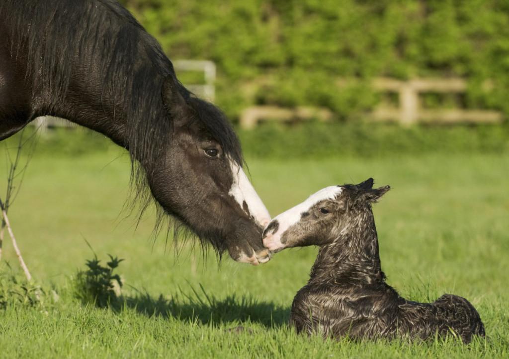 Спаривание лошадей. Зачатие и рождение жеребенка - фото the-foals-first-critical-hours-promo-image-1024x721, главная Здоровье лошади Лошадь , конный журнал EquiLIfe
