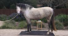 весы для лошади