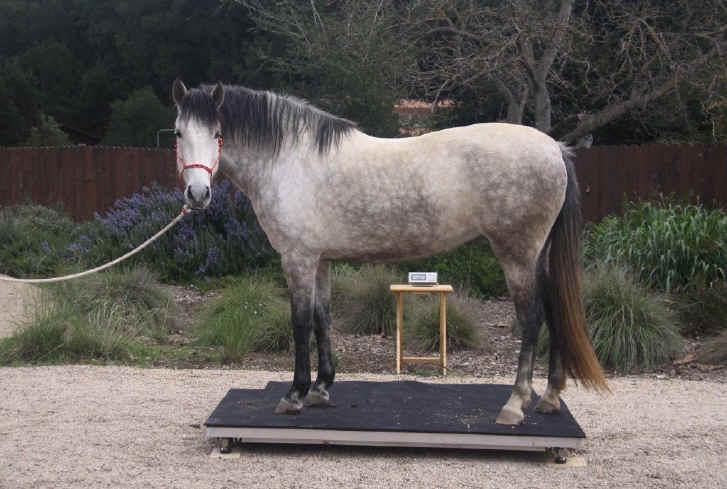 Взвесить лошадь на весах. Весы для лошади - фото 5, главная Рацион Содержание лошади , конный журнал EquiLIfe