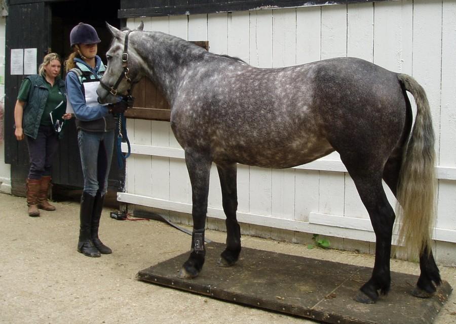 Взвесить лошадь на весах. Весы для лошади - фото 4, главная Рацион Содержание лошади , конный журнал EquiLIfe