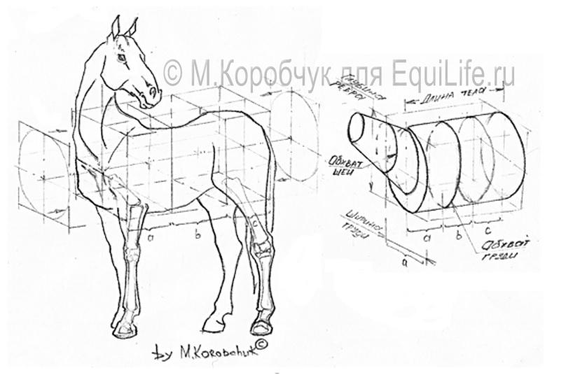 Как измерить вес лошади измерительной лентой - фото 1_wm, главная Здоровье лошади Рацион Содержание лошади , конный журнал EquiLIfe