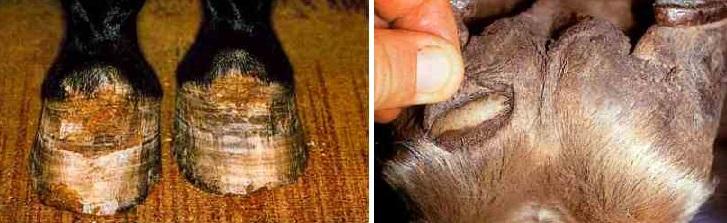 Болезни лошадей. Часть 1: болезни кожи и копыт. - фото 99, главная Здоровье лошади , конный журнал EquiLIfe