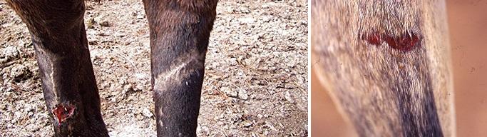 Болезни лошадей. Часть 1: болезни кожи и копыт. - фото eavzj7dtwounds-0051, главная Здоровье лошади , конный журнал EquiLIfe