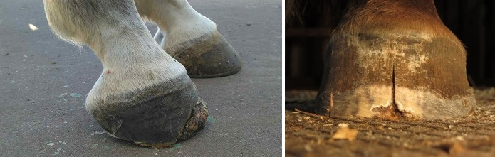 Болезни лошадей. Часть 1: болезни кожи и копыт. - фото me0amd57ucyncm2qkn8z874ei, главная Здоровье лошади , конный журнал EquiLIfe