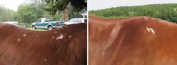 Болезни лошадей. Часть 1: болезни кожи и копыт. - фото quarterhorsejacksaddlesores, главная Здоровье лошади , конный журнал EquiLIfe