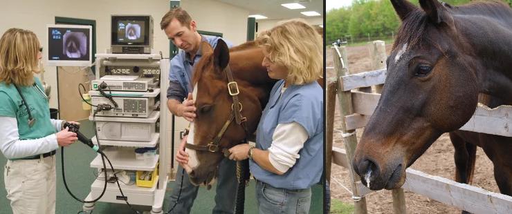 Болезни лошадей. Часть 3: Болезни сердечно-сосудистой и дыхательной систем - фото , главная Здоровье лошади , конный журнал EquiLIfe