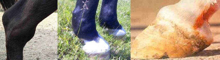 Болезни лошадей. Часть 2: болезни костей, суставов, мускулатуры и сухожилий - фото , главная Здоровье лошади , конный журнал EquiLIfe