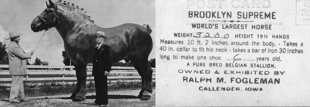 Бруклин Суприм - самая большая лошадь в истории - фото BdtMAzICUAAFQXN.jpg-large, главная Интересное о лошади , конный журнал EquiLIfe