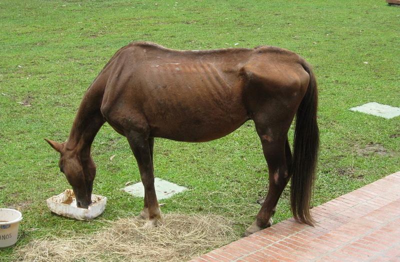 Чем откормить худую лошадь? - фото 15-paulickreport_com15, главная Рацион , конный журнал EquiLIfe