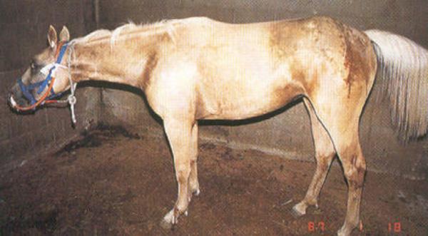 Болезни лошадей. Часть 7: Инфекционные болезни - фото , главная Здоровье лошади , конный журнал EquiLIfe