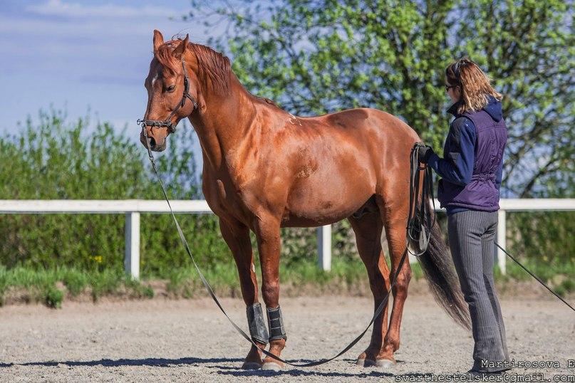 Готова ли ваша лошадь к обучению пиаффе? - фото 03-7, главная Тренинг , конный журнал EquiLIfe