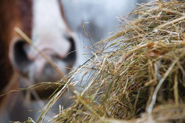 Правильное хранение сена - фото 01-01-8, главная Здоровье лошади Рацион Содержание лошади , конный журнал EquiLIfe