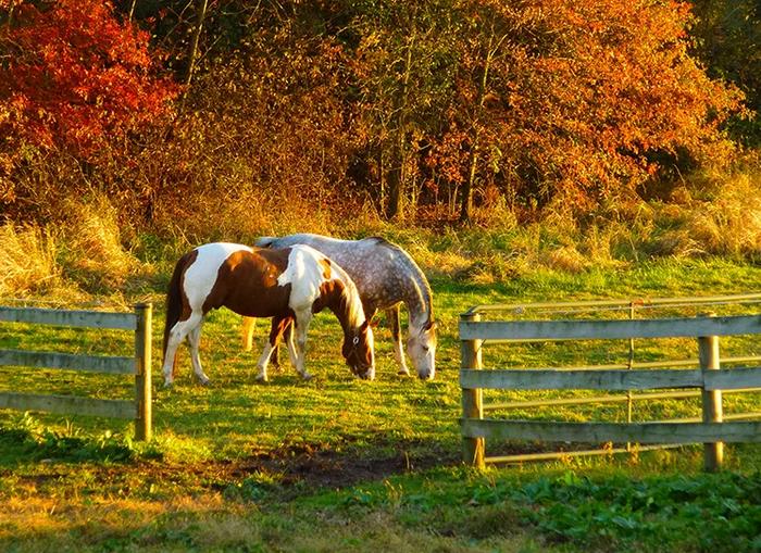 Осенняя трава опасна для лошадей - фото 11, главная Рацион Содержание лошади , конный журнал EquiLIfe