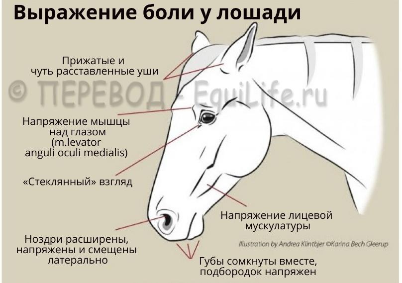 Признаки боли у лошадей - фото -запись-ВКонтакте-1000x700-пикс_wm, главная Здоровье лошади Поведение лошади , конный журнал EquiLIfe