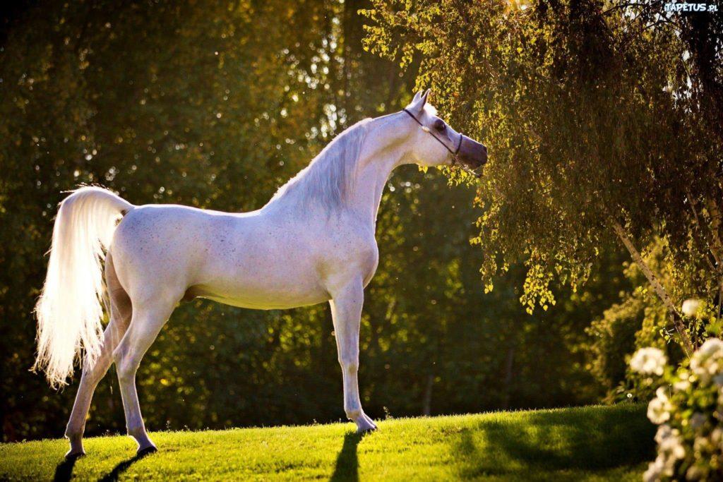 Арабская чистокровная порода - фото 1540917865_arab-1024x683, главная породы лошадей , конный журнал EquiLIfe