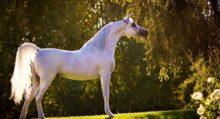Колики: нужна ли операция? - фото 1540917865_arab-220x119, Recommendation главная Здоровье лошади Новости , конный журнал EquiLIfe