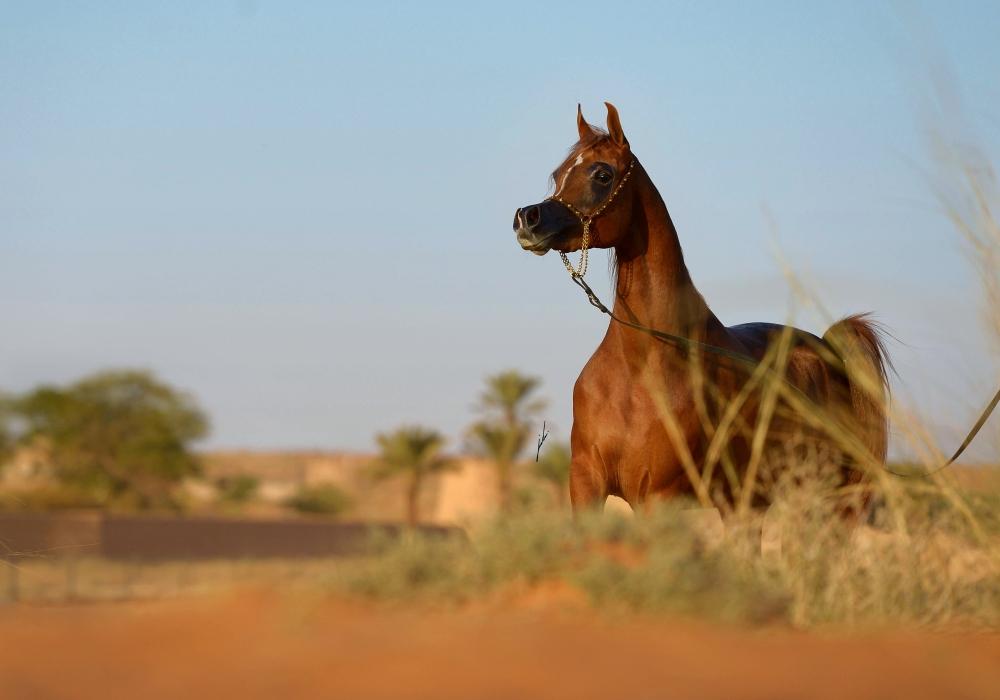 Арабская чистокровная порода - фото delights-divah-rb-1, главная породы лошадей , конный журнал EquiLIfe