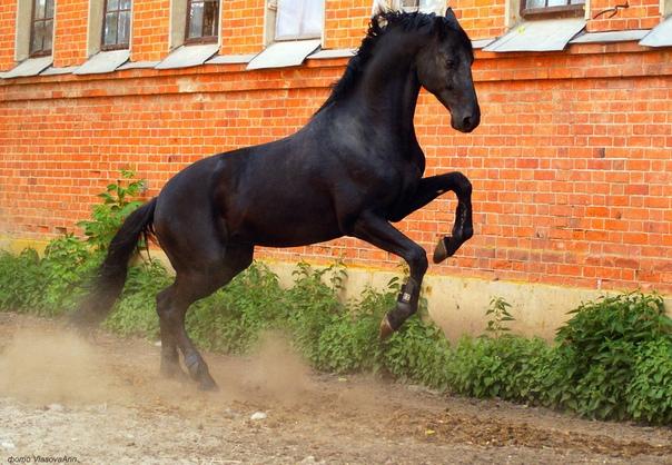 Русская верховая порода - фото T8VgKSi1GDI, Recommendation породы лошадей , конный журнал EquiLIfe